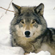 Wolf Rests In Snow Poster