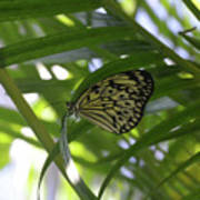 Wonderful Look At A Tree Nymph Butterfly In Foliage Poster