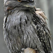 Wonderful Patterned Feathers On A Tawny Frogmouth Bird Poster