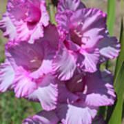 Wonderful Pink Gladiolus Poster
