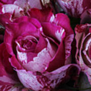 Wonderful Pink Red Rose Poster