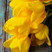 Wonderful Yellow Tulips With Dew Poster