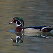 Wood Duck - Male Poster