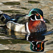 Wood Duck 1 Poster