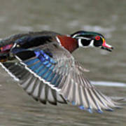 Wood Duck In Action Poster