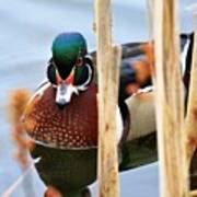 Wood Duck In The Reeds Poster