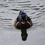 Wood Duck Male 20130924_268 Poster