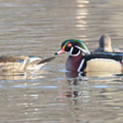 Wood Duck Pair Poster