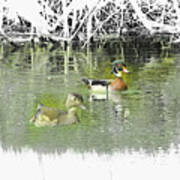 Wood Duck Pair Swimming. Poster