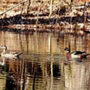 Wood Ducks Enjoying The Pond Poster