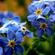 Wood Forget Me Not Blue Bunch Poster