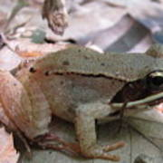 Wood Frog  Poster