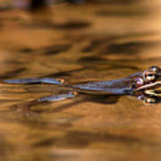 Wood Frog Reflecting On Golden Pond Poster