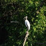 Wood Stork-out On A Limb Poster