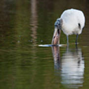 Wood Stork With Fish Poster