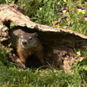 Woodchuck Ready For Spring Poster