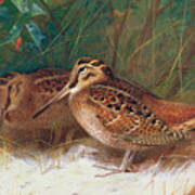Woodcock In The Undergrowth Poster