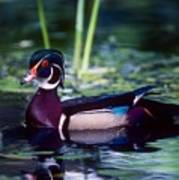 Woodduck Poster
