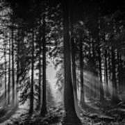 Woodland Walks Silver Rays B/w Poster