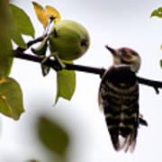 Woodpecker. Dendrocopos Minor Poster