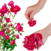 Worker Pick  Flowers Of Pink  Roses Poster