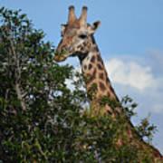 World's Tallest Mammal Poster