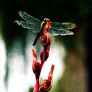 Wornout Dragonfly Poster by Susie Weaver