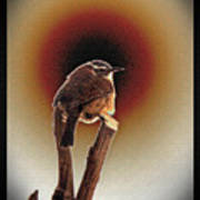 Wren At Sundown Poster by Sue Melvin