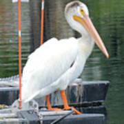 Wyoming Pelican Poster
