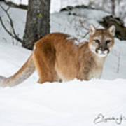 Wyoming Wild Cat Poster