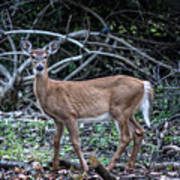 Yearling Fawn Poster