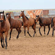 Yearlings In Single File Poster