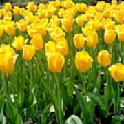 Yelllow Tulip Garden Poster