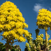 Yellow Aeonium Poster