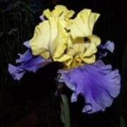 Yellow And Blue Iris Poster