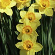 Yellow And Orange Daffodil  #2 Poster