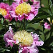 Yellow And Pink Peony Poster