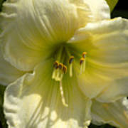 Yellow And White Daylily Poster