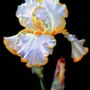Yellow And White Iris Poster