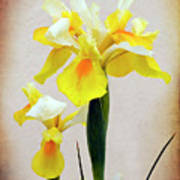 Yellow And White Iris Textured Poster