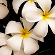 Yellow And White Plumeria Poster