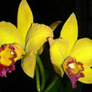 Yellow And Wine Orchids Poster