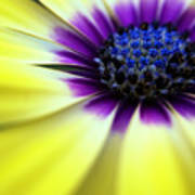 Yellow Beauty With A Hint Of Blue And Purple Poster