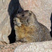 Yellow-bellied Marmot Poses For Pictures Poster