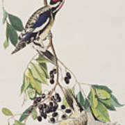 Yellow Bellied Woodpecker Poster