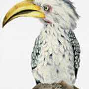 Yellow-billed Hornbill Watercolor Painting Poster