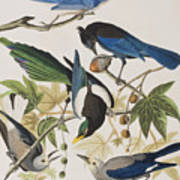 Yellow-billed Magpie Stellers Jay Ultramarine Jay Clark's Crow Poster