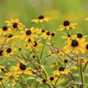 Yellow Black Eyed Susan Wildflowers In Summer Poster