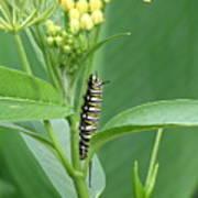 Yellow Black  White Caterpillar Poster