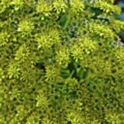 Yellow Blossoms Of Green Aeonium In Huntington Desert Garden In San Marino-california  Poster